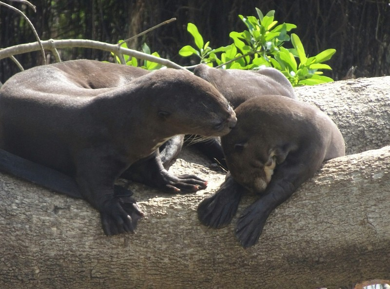 Pantanal Extreme Tour - Day 2 - Giant River Otters