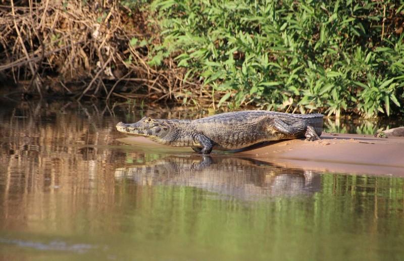 Pantanal Extreme Tour - Day 2 - Cayman