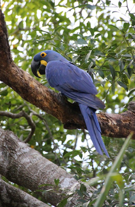 Pantanal Extreme Tour - Hyacinth Macaw