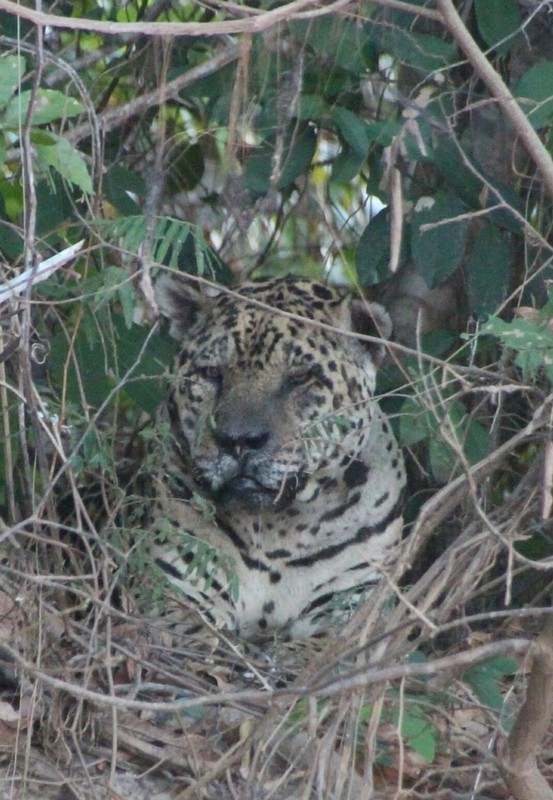 Pantanal Extreme Tour - Day 3 - Older Jaguar