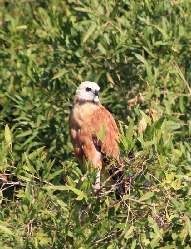 Pantanal Extreme Tour - Day 3 - Black Collared Hawk