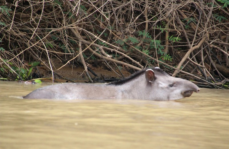 Pantanal Extreme Tour - Day 3 - Tapir