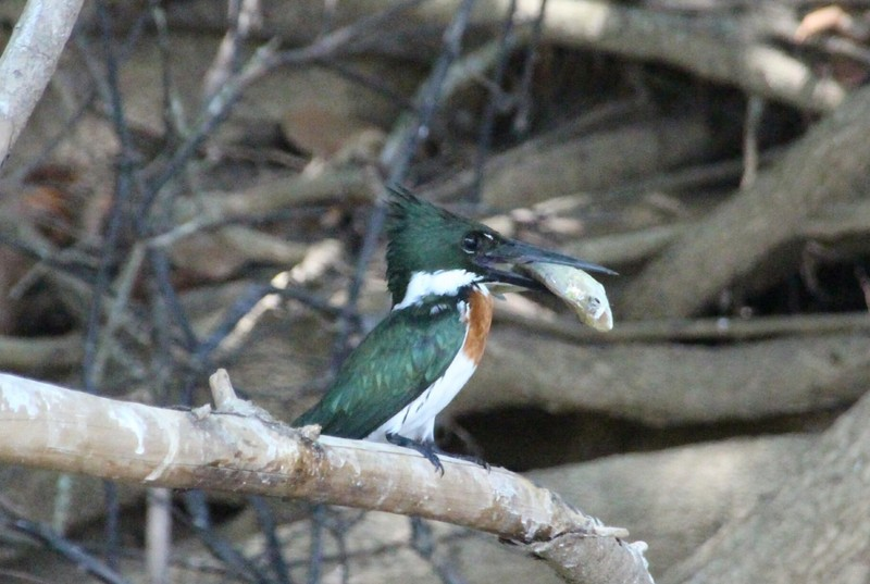 Pantanal Extreme Tour - Day 3 - Green Kingfisher