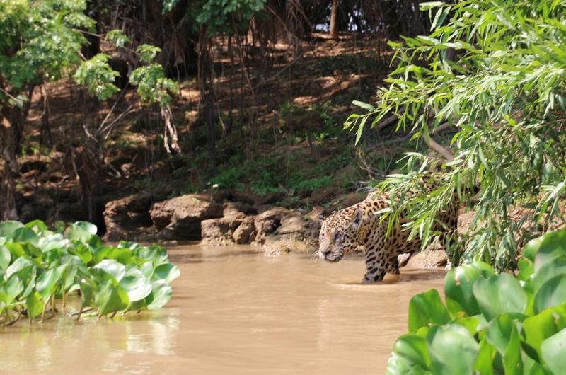 Pantanal Extreme Tour - Day 3 - Jaguar