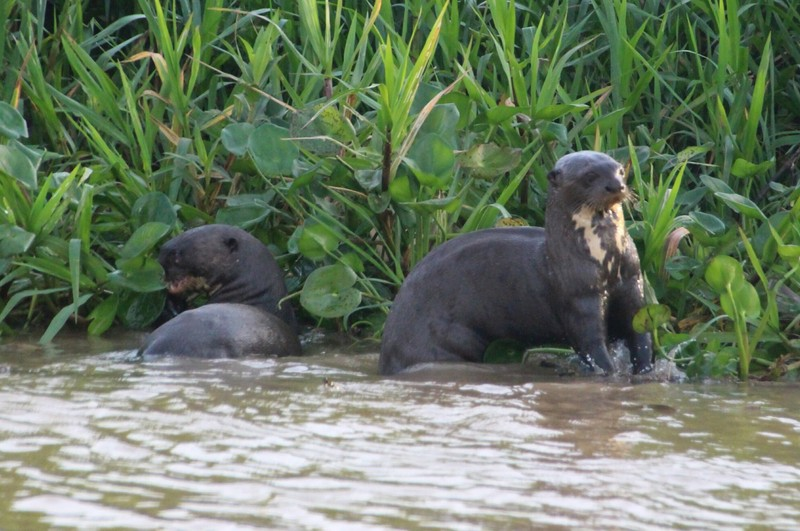 Pantanal Extreme Tour - Day 4 - Great River Otters