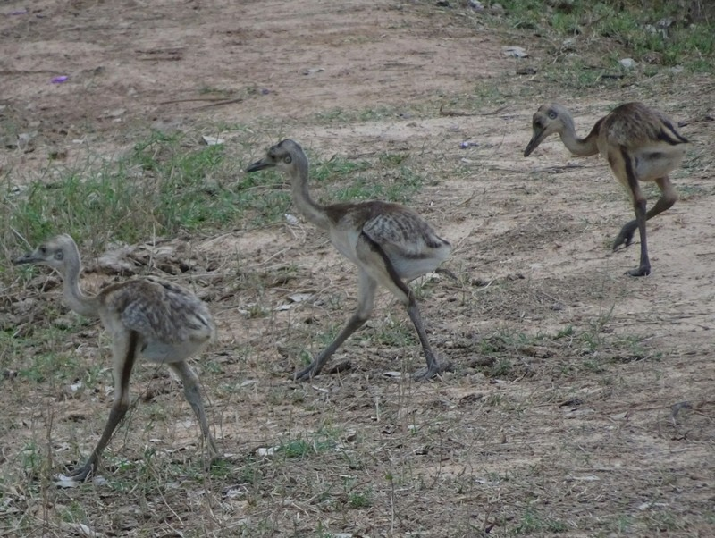 Rhea chicks (3 of 12!)