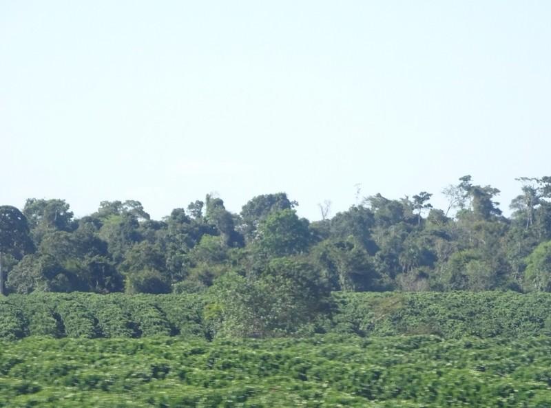Itacare to Porto Seguro scenery - Cocao plantation