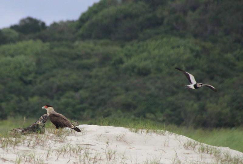 Caracara and Southern Plover at Praia do Fora