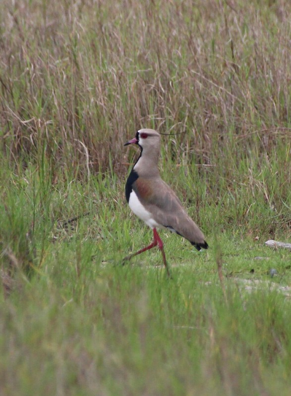 Southern Lapwing at Praia do Boia