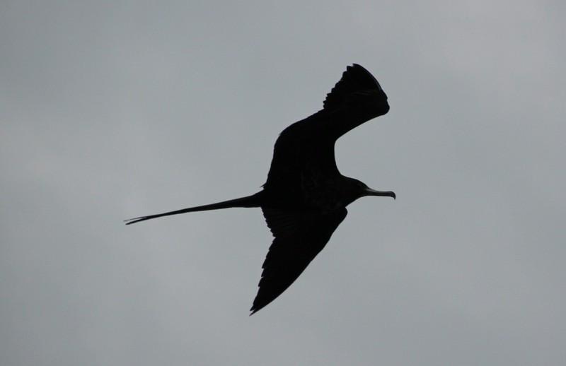 Frigatebird at Farol das Chonchas
