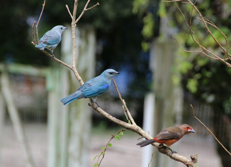 Colourful birds at bird feeding table near embarcation pier at Brasilia