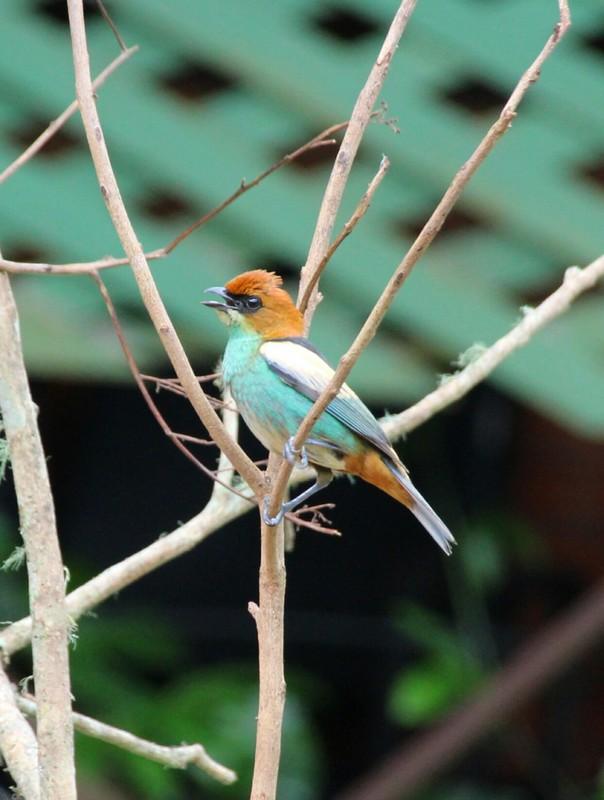 Colourful bird near bird feeding table near embarcation pier at Brasilia