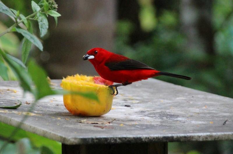 Brazilian Tanager enjoying fruit