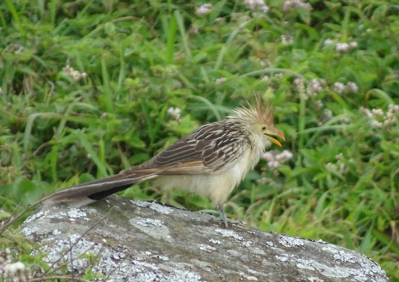 Headland at Armacao - Characterful bird - having a bad-hair day?!