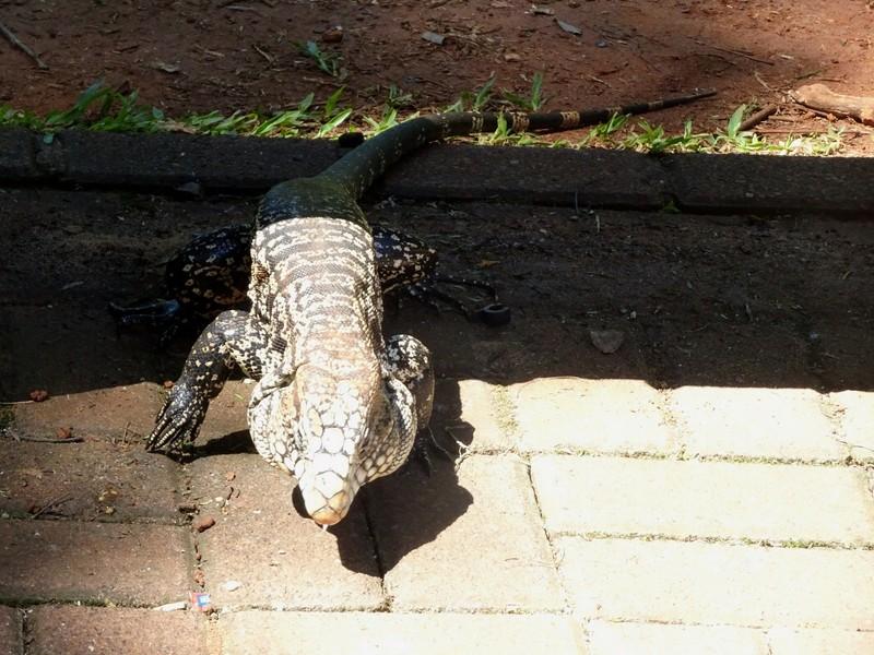 Iguacu Brazil - Iguana