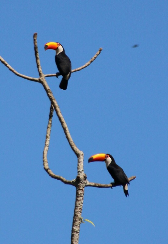 Toco Toucans - Iguazu Falls Argentina (en route to Circuit Inferior)