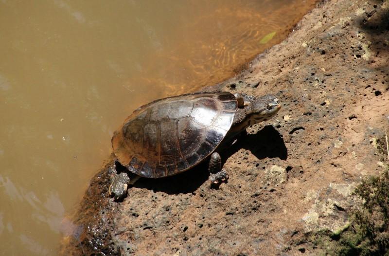 Turtle - Iguazu falls Argentina