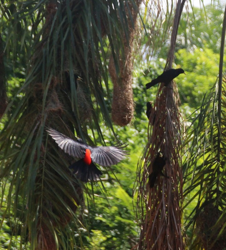 Red-rumped Caciques and hanging nest - Iguazu Falls Argentina