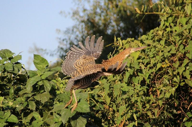 Pantanal Extreme Tour - Day 2 - Rufescent Tiger Heron
