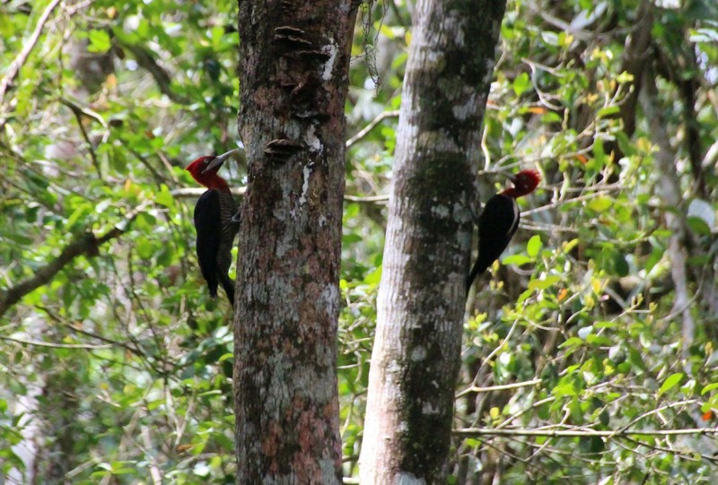 Crimson Crested Woodpeckers on adjacent trees (honestly!) near Brasilia to Praia Grande trail