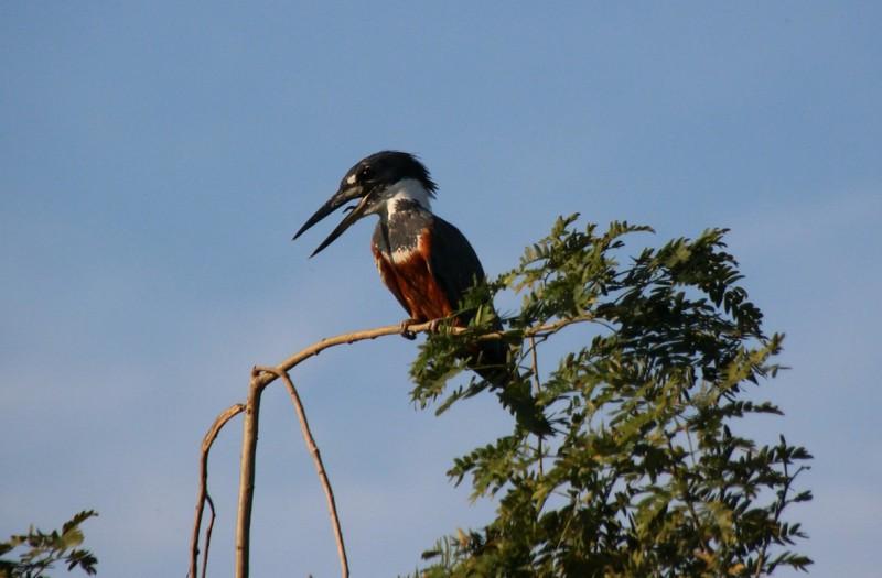 Pantanal Extreme Tour - Day 3 - Kingfisher