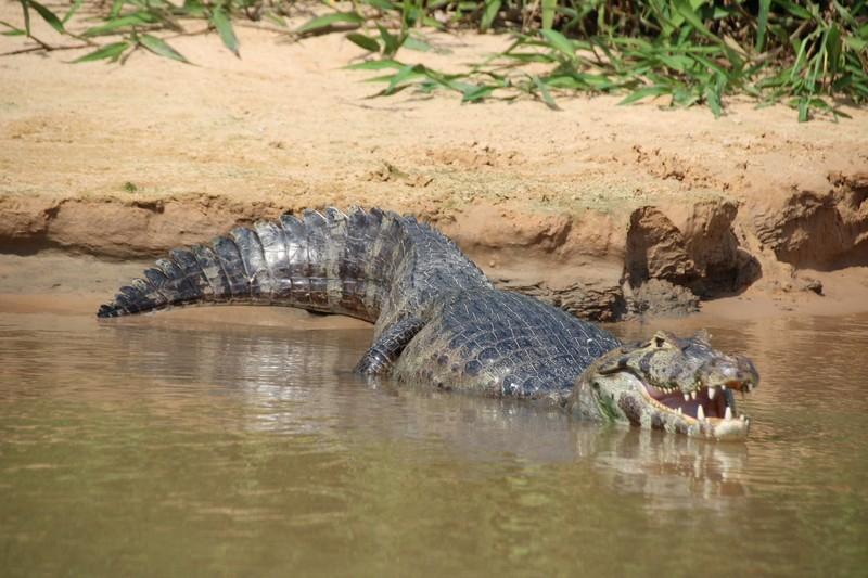 Pantanal Extreme Tour - Day 3 - Cayman