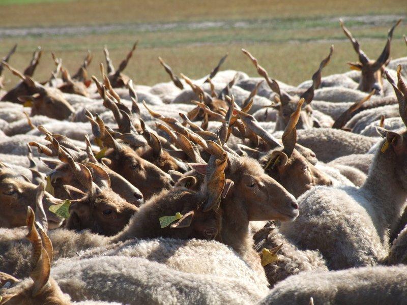Racka sheep in Hortobagy