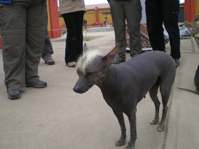 punk_peruvian_dog.jpg