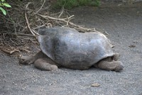 Giant tortoise from the slope of Cerro Azul Vocano, with a distinctive shell