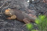 Orange land iguana on one side of Sierra Negra/ Chico Volcano