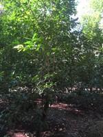 Yerba mate plants