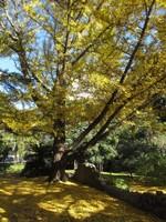 Japanese Gingko tree