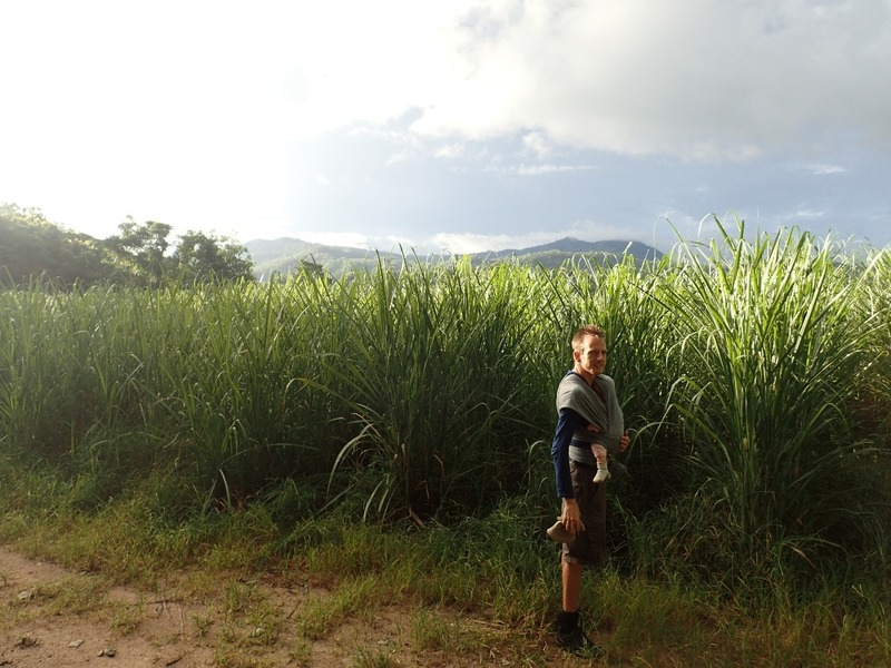 Sockerrörsfält