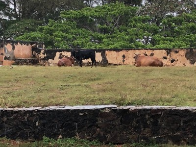 Galle Fort cows