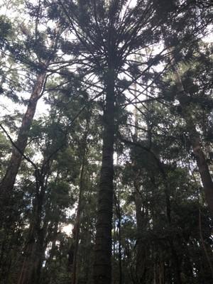 Australian hoop pine in Galway's Land National Park