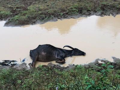 Buffalo enjoying a mud bath