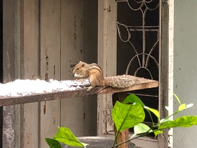 Indian palm squirrel in Galle