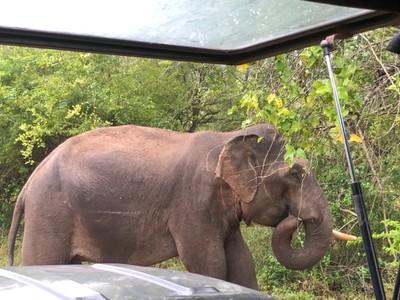 Tusker elephant