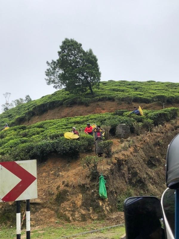 Tea pickers between Nuwara Eliya and Nanu Oya