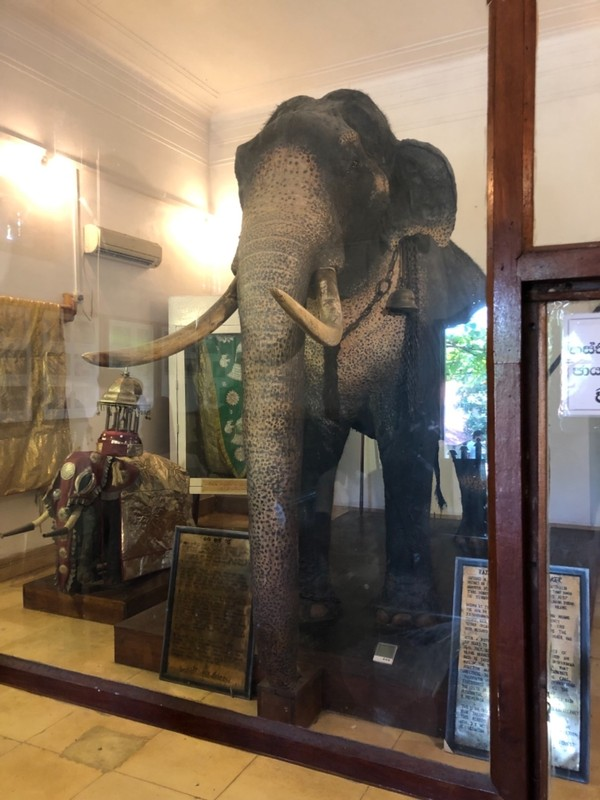 Raja the tusker elephant