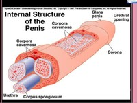 the-biochemistry-of-penile-erectile-function-and-dysfunction-10-638.jpg