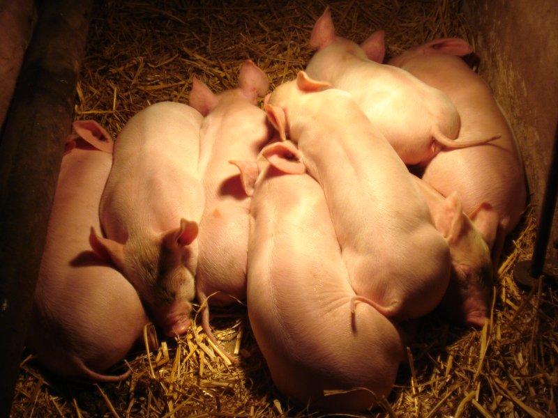large_piglets.jpg