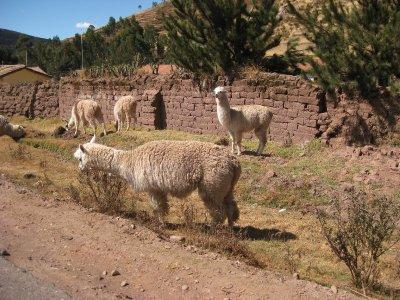 Roadside Alapacas