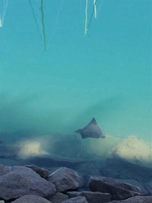 Manta Ray swimming in a Marina