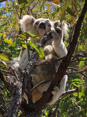 Wild Koala with her baby