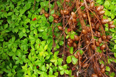 Spruce cones and Bunchberry, Anticosti Island, Quebec