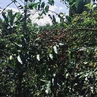 Plantes et grains de café