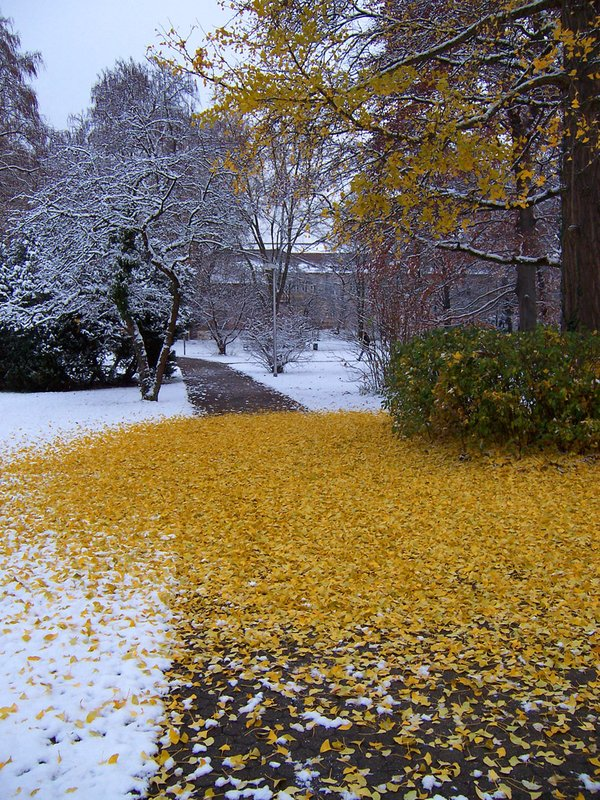 ginkgo leaves on park path
