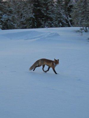 Are-Fox.jpg