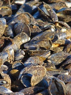 Brid-2-Mussels-Close.jpg
